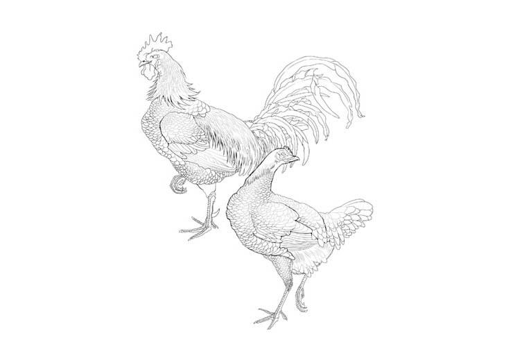 双鶏図(そうけいず) / 伊藤若冲